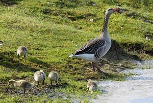 Munter wuseln die Graugansküken hinter ihrer Mutter durchs kurze Gras