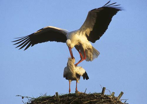 Die Paarung der Störche - Balanceakt in luftiger Höhe